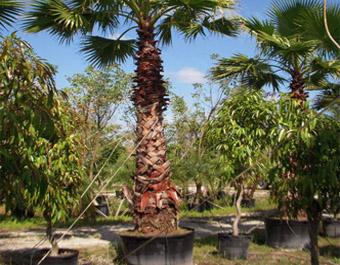 Bomen oppotten en acclimatiseren op locatie